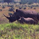 Saving the most endangered species in Africa – the rhino.