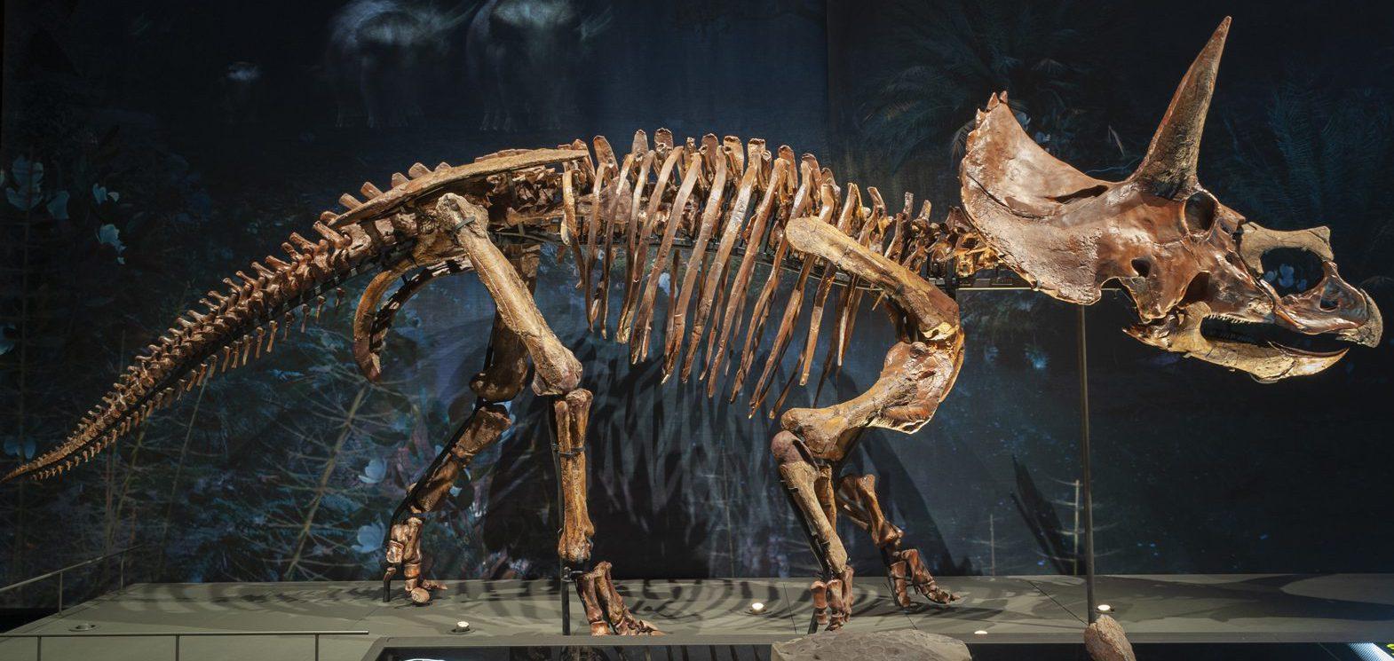 3d printed Triceratops skeleton